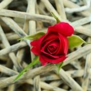 rose-829176_1920